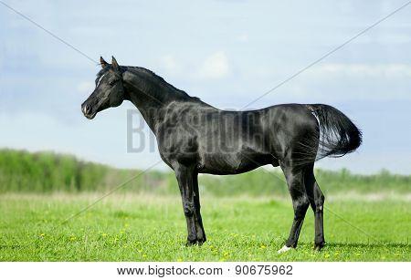 Black Arabian Horse Standful Portrait On Green Field Background