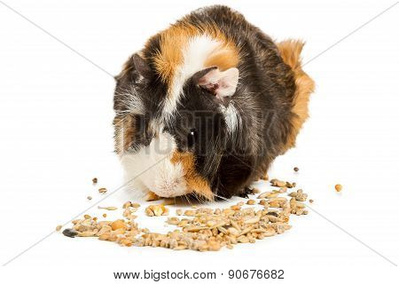 Guinea Pig Eating Grain