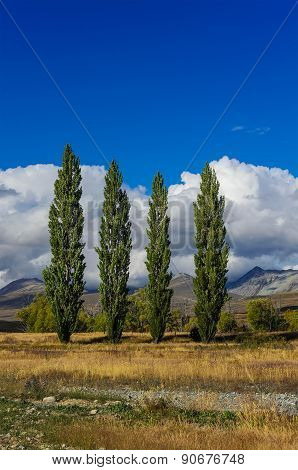 Poplars On A Field Near Lake Tekapo