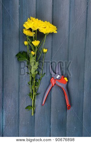Beautiful bouquet of yellow chrysanthemum with pruner on wooden background
