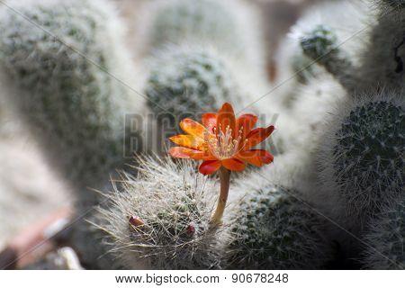 Cactus (aylostera Gibbulosa)