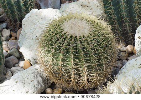 Chin Cactus (gymnocalycium Sp.)