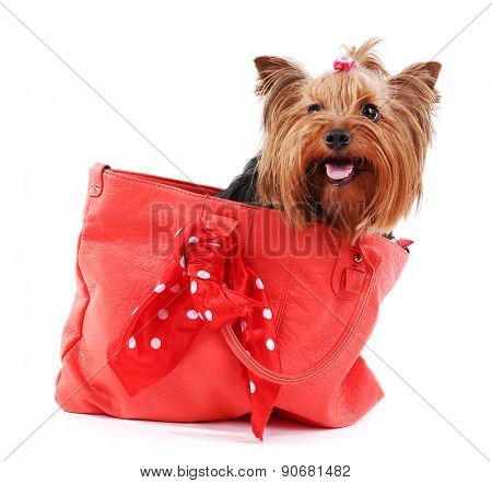 Cute Yorkshire terrier dog in red bag isolated on white