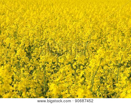Yellow field of rape plant canola