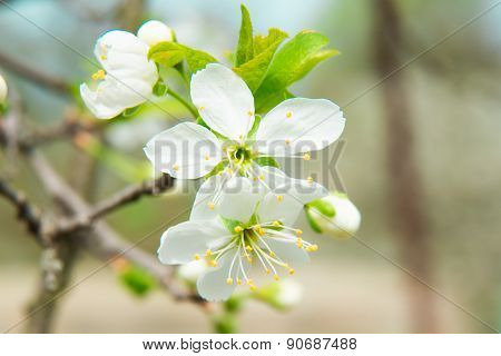 beautiful cherry blossom in spring. Blossom tree over nature background. Spring flowers. Spring Back