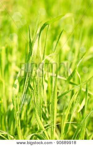 Green grass with dew on nature background, close up