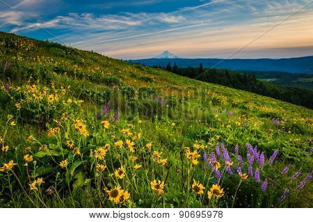 Wildflowers And View Of Mount Hood From Tom Mccall Point, Columbia River Gorge, Oregon.