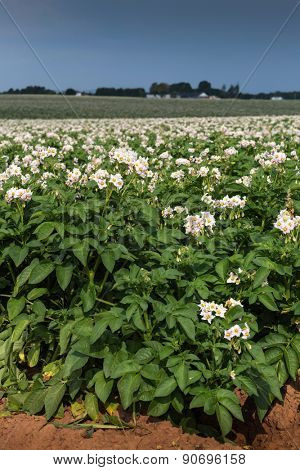 Potato plants flower in a potato field in rural Prince Edward Island, Canada.