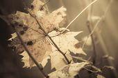 stock photo of canada maple leaf  - Fall autumn symbol - JPG