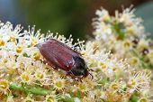 pic of may-flower  - May bug sits on a white flower - JPG
