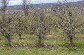 pic of orchard  - Rows of apple trees blooming on a countryside orchard during springtime - JPG