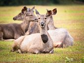 picture of deer family  - Females of the Sambar deers - JPG