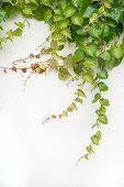 foto of ivy vine  - ivy leaves on wall background for wallpaper - JPG