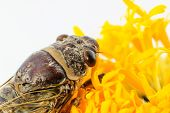 stock photo of marigold  - insect singing Cicada on a yellow marigold flower - JPG