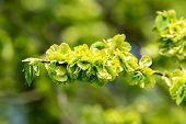 stock photo of elm  - Wych elm or Scots elm (Ulmus glabra). Here seen close up in early spring as it is showing lots of bright green seeds and a few fresh leaves are developing.