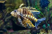 stock photo of lion-fish  - Lion fish - JPG