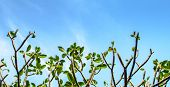 stock photo of frangipani  - Frangipani tree branches against a blue sky - JPG