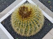 stock photo of mother law  - Mother in laws cushion or Golden ball barrel cactus  - JPG