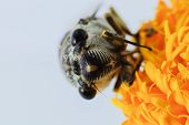 stock photo of marigold  - nsect singing Cicada on a yellow marigold flower  - JPG