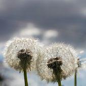 stock photo of blow-up  - Dandelion blow balls in Spring - JPG