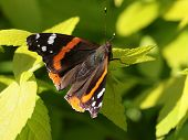 stock photo of sun perch  - A Red Admiral Butterfly  - JPG
