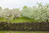 picture of orchard  - Blooming Apple orchard is fenced with woven fence - JPG