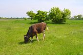 image of calves  - Calf on a green expanse of meadow grazing - JPG