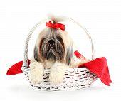 foto of dog breed shih-tzu  - Cute Shih Tzu in wicker basket isolated on white - JPG