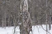 stock photo of snow owl  - A lone Great Grey Owl in a winter scene - JPG