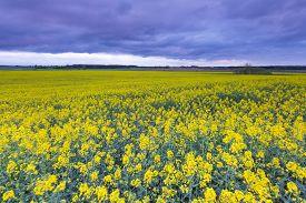 stock photo of rape-field  - Rape field landscape - JPG