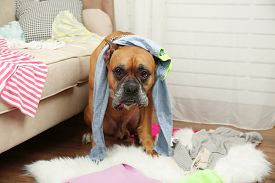foto of messy  - Dog demolishes clothes in messy room - JPG