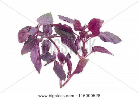 Two Sprigs Of A Purple Basil On A Light Background