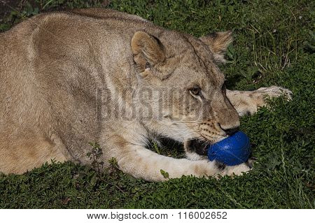 Lioness Playing With Blue Ball