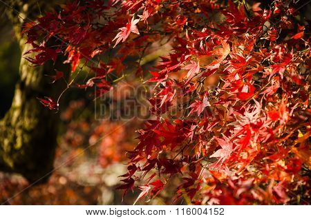 Red Maple, Kyoto Japan