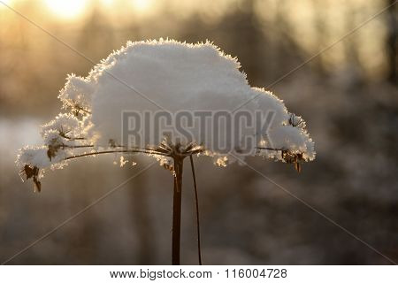 Snow cap on frozen flower