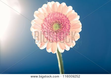 Light Pink Gerbera Daisy, Against The Light, Blue Background
