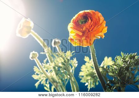 Orange Buttercup Ranunculus Flower, Against The Light, Blue Background