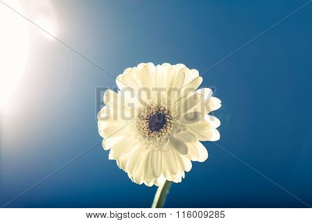 White Gerbera Daisy, Against The Light, Blue Background