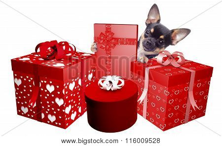 Cute Dog Chihuahua Is Very Happy With The Gifts She Has Received