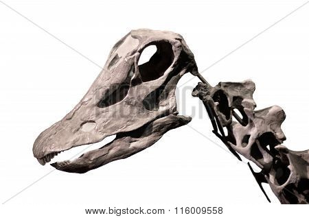Diplodocus skull skeleton on white isolated background .