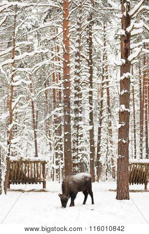 European Bison Feeding In Winter In Orlovskoye Polesie National Park In Russia