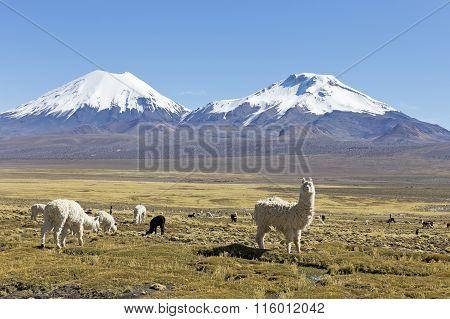 The Snowcapped Volcanoes Parinacota And Pomerane. Bolivia