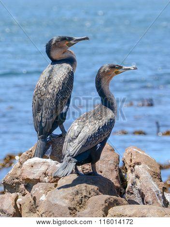 Juvenile Cape Cormorants