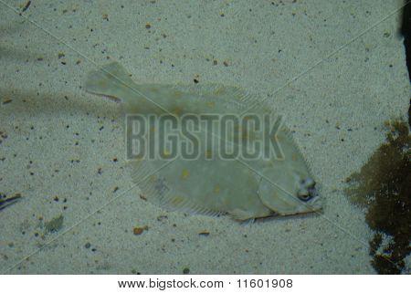 European Plaice - Pleuronectes Platessa