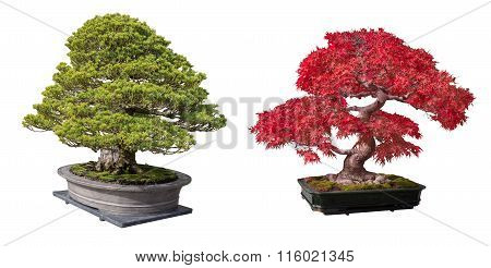 Red maple and bonsai tree isolated on a white background.