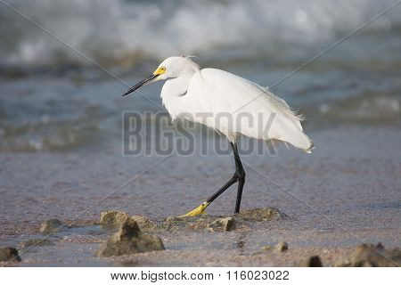 White Heron Hunting  Fish In The Sea