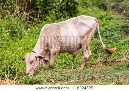 Young Cow, Thai Calf