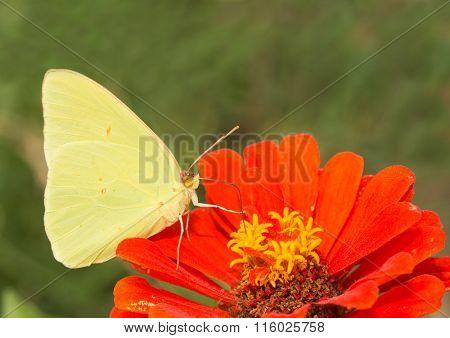 Male Phoebis sennae, Cloudless Sulphur butterfly feeding on a Zinnia flower