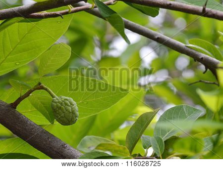 custard apple on the tree