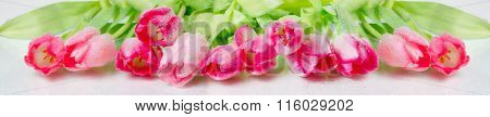 panorama with pink  tulips on white background.